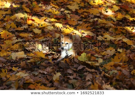Akita dog outside in sunny weather Stock photo © bigandt