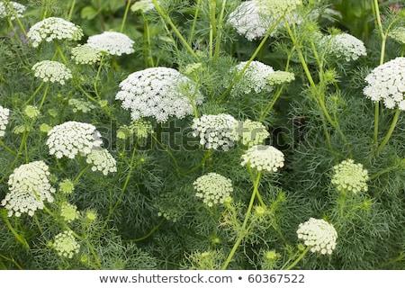 Witte bloem Stockfoto © stocker