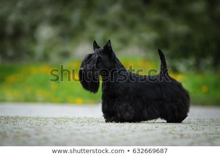 Terriër puppy permanente witte zwarte alleen Stockfoto © willeecole