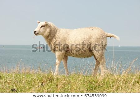羊 · 多くの · オランダ語 · 草 · 自然 · 川 - ストックフォト © meinzahn