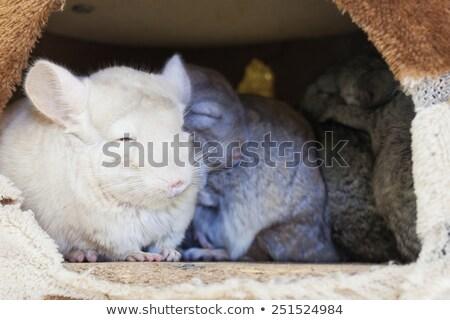 チンチラ グループ 寝 穴 髪 背景 ストックフォト © FrameAngel