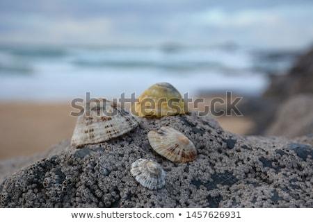 シェル · 岩 · 水 · 自然 · 背景 · 夏 - ストックフォト © agatalina