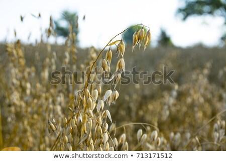 Dojrzały owies roślin jeden rozwój Zdjęcia stock © tainasohlman