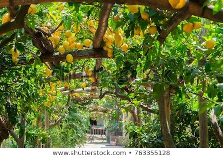 Citroenen illustratie vruchten glas zomer drinken Stockfoto © adrenalina