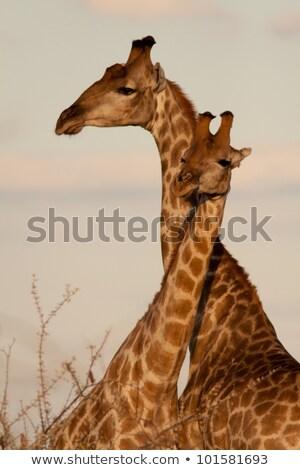 zürafa · siluet · gün · batımı · örnek · doğa · Afrika - stok fotoğraf © adrenalina