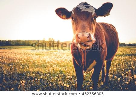 vicces · tehén · arc · különböző · web · design · farm - stock fotó © get4net