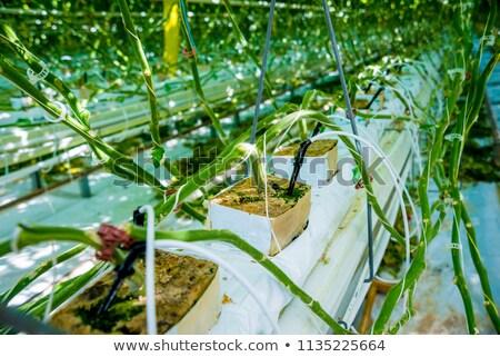 sağlıklı · domates · doğal · büyümüş · bahçe · meyve - stok fotoğraf © mady70