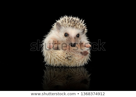 Stock photo: Four African Hedgehogs are in the dark studio