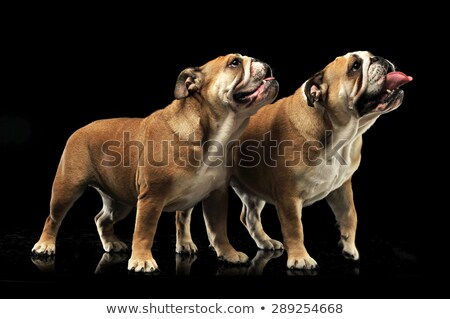 Stock photo: two Bulldogs standing and looking sideways with open mouse in a