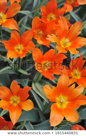 Vibrant variegated orange and yellow spring tulips Stock photo © ozgur