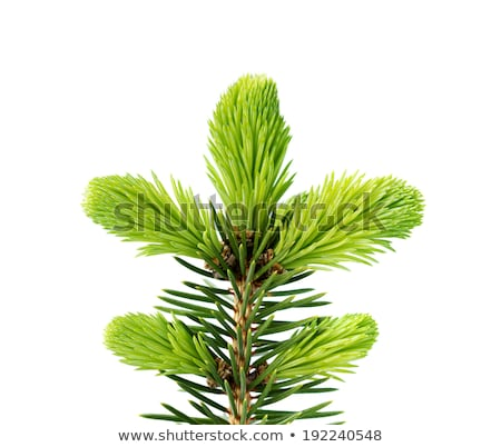 Young Spruce Shoots Stock photo © zhekos