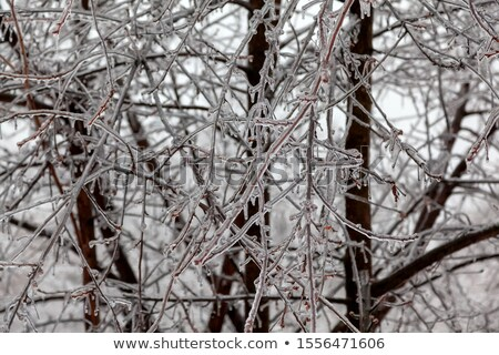 Freezing rain covered the trees and surface in a park forest Stock photo © szabiphotography