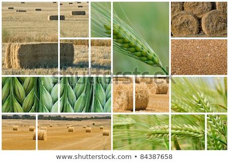 wheat farming photo collage stock photo © stevanovicigor