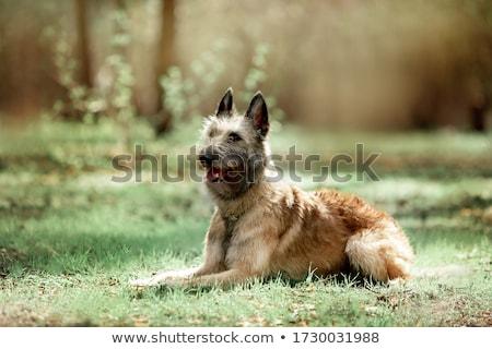 szczeniak · owczarek · belgijski · psa · domowych · białe · tło · brązowy - zdjęcia stock © cynoclub