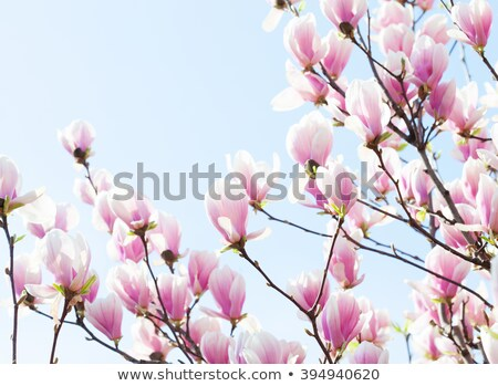 bud of blooming magnolia and blue sky in spring day stock photo © bsani