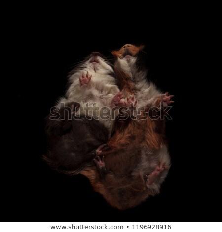Stok fotoğraf: Iki · sevimli · Gine · domuzlar · ayakta · diğer