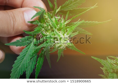 young man with a marihuana bud Stock photo © nito