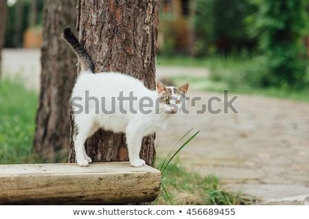 Portrait of pregnant cat walking on the bench Stock photo © ruslanshramko