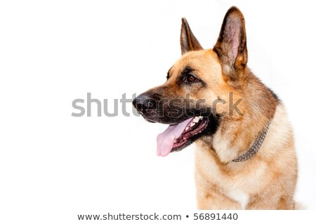 side view of adorable german shepard standing Stock photo © feedough