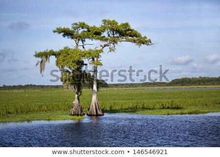 Green cypress tree against blue sky Stock photo © boggy