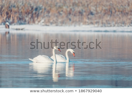 Mute Swan swimming on a pond. Stock photo © brianguest