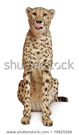 Cheetah Stockfoto © photoblueice