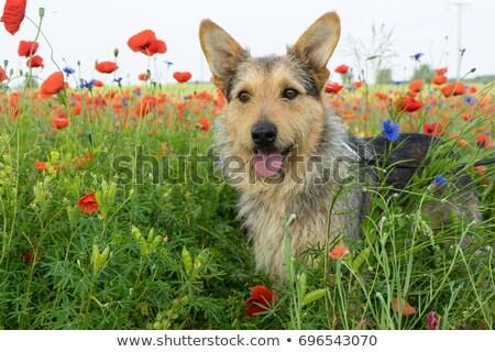 misto · border · collie · cão · isolado - foto stock © eriklam