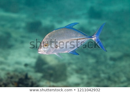 Bluefin trevally in the Red Sea. Stock photo © stephankerkhofs