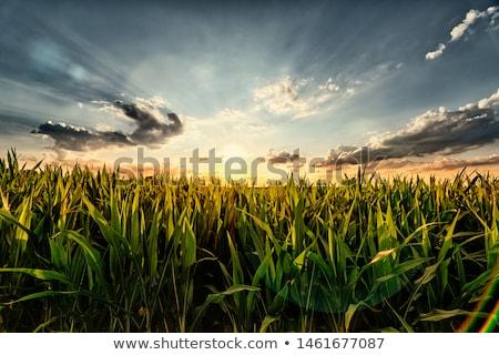 Kukoricamező tájkép kilátás friss fényes kék ég Stock fotó © jrstock