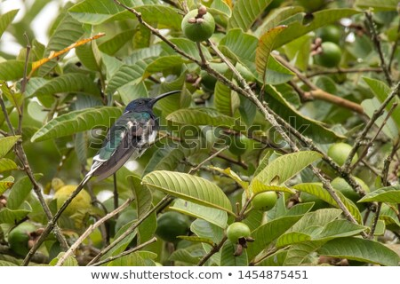 Hummingbird and Guaba Tree Stock photo © rhamm