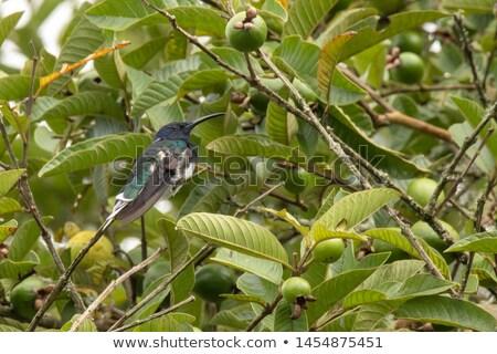Stock photo: Hummingbird And Guaba Tree