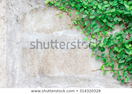 stone wall with vines in the background stock photo © zerbor