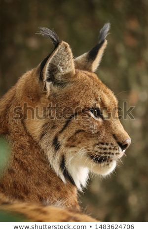Lynx in the grass Stock photo © RuslanOmega