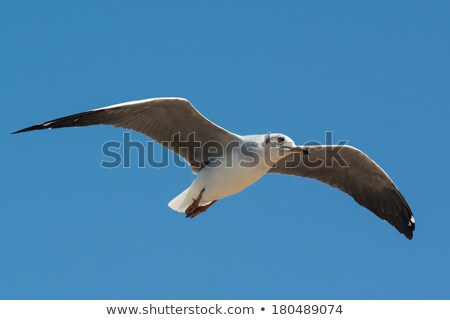 小さな 風 鳥 アフリカ 飛行 ストックフォト © davemontreuil