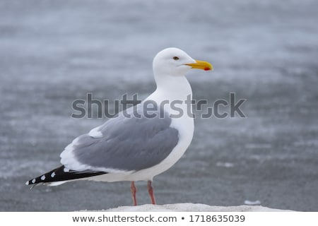 herring gull stock photo © chris2766