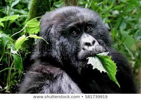 Montana gorila comer forestales Uganda animales Foto stock © wildnerdpix