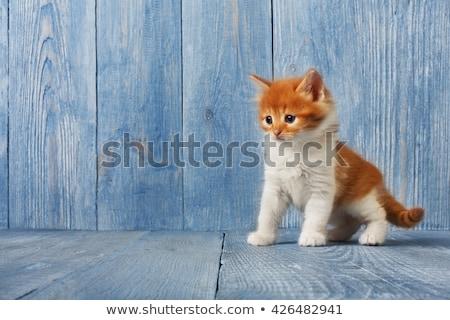 Cute Orange Kitten Meowing on White Background Stock photo © gabes1976