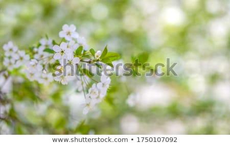 virágzó · ág · gyümölcsfa · közelkép · virág · természet - stock fotó © relu1907