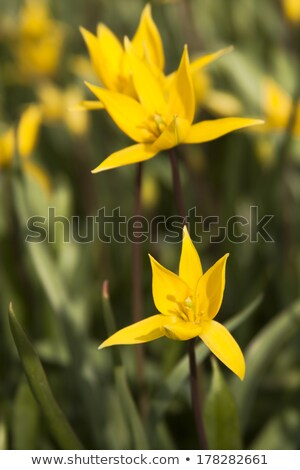 Yellow wild tulip in its natural habitat  Stock photo © master1305