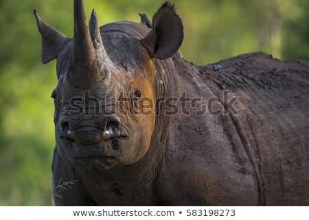 zwarte · neushoorn · lopen · zout · afrika - stockfoto © chris2766