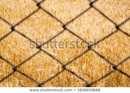Ouvido milho seção transversal agrícola campo agricultura Foto stock © stevanovicigor