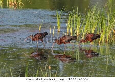 glossy ibis (plegadis falcinellus) Stock photo © chris2766