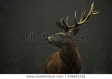 Grazing red deer stag Stock photo © photosebia