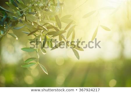 Olijfolie bomen zon stralen plantage voedsel Stockfoto © deyangeorgiev