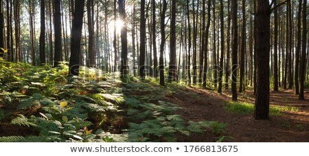 Stock photo: footpath through a pine forest