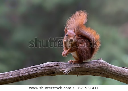 red squirrel in tree stock photo © suerob