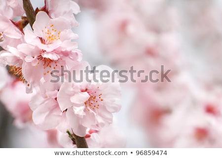 şeftali çiçek atış bahçe Stok fotoğraf © andreasberheide