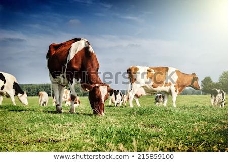 dois · vacas · comer · grama · prado · natureza - foto stock © is2