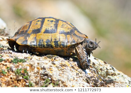 profile view of Testudo graeca in natural habitat Stock photo © taviphoto