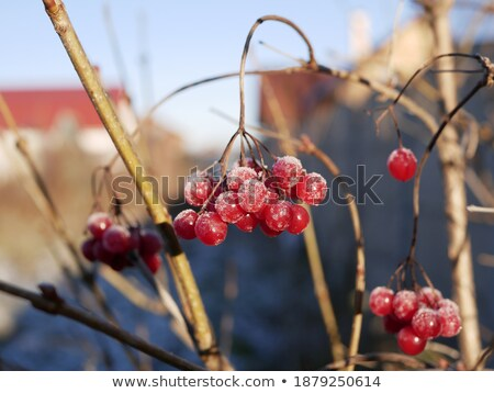 bos · bush · rijp · bessen · weinig - stockfoto © romvo